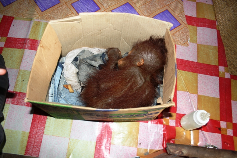 baby orangutan in box