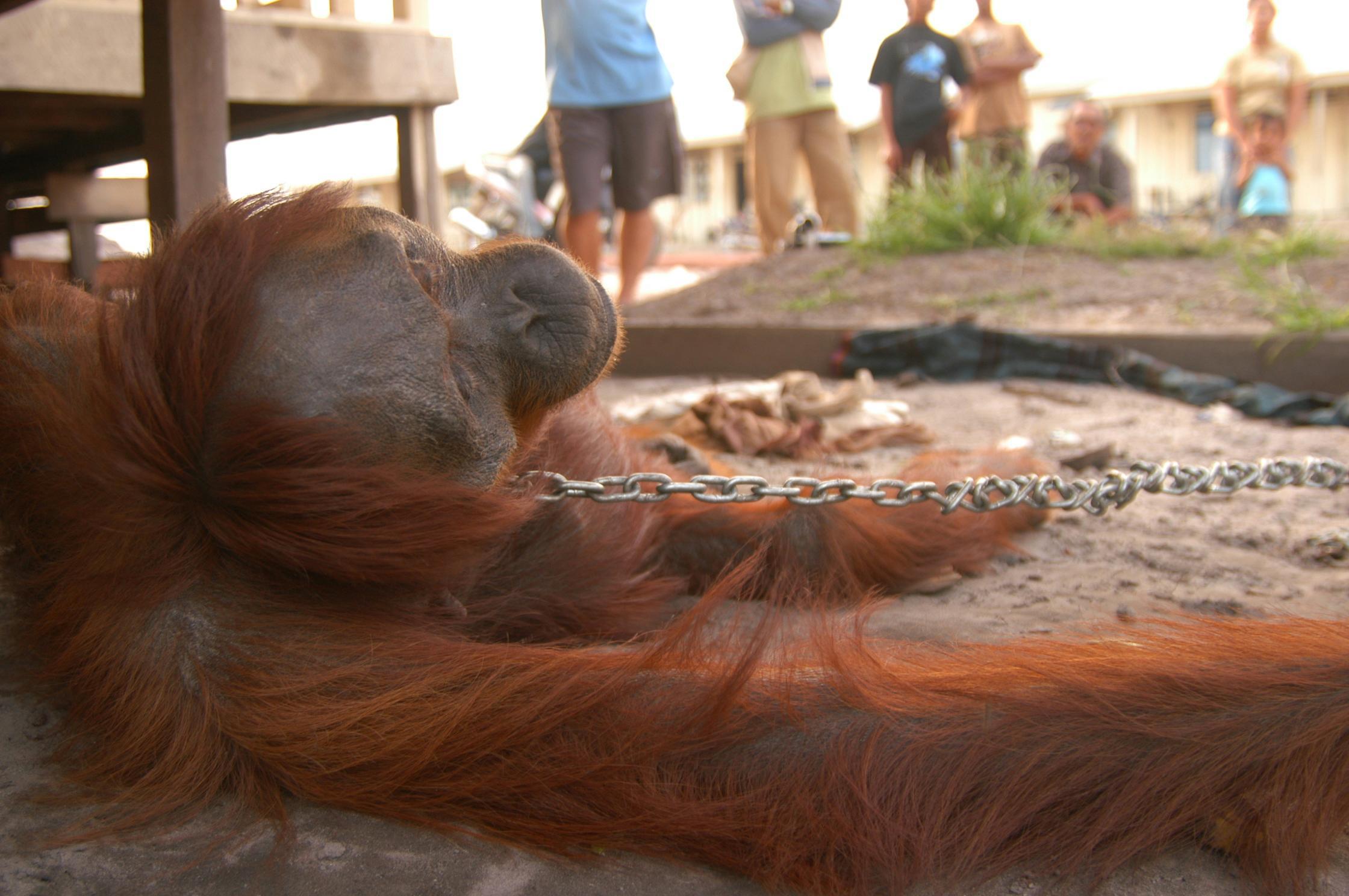 Issues - Orangutans and Wildlife - Orang Utan Republik