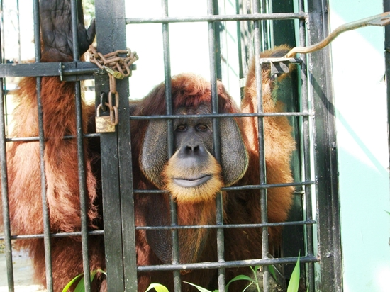male orangutan in Medan Zoo