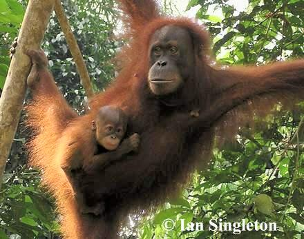 Sumatran female and offspring