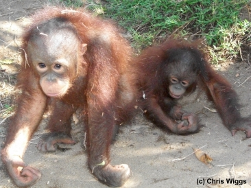 two rehabilitant orangutans
