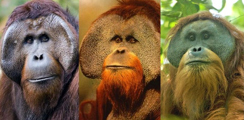 Three species of orangutans